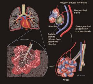 cómo reclutar alveolos