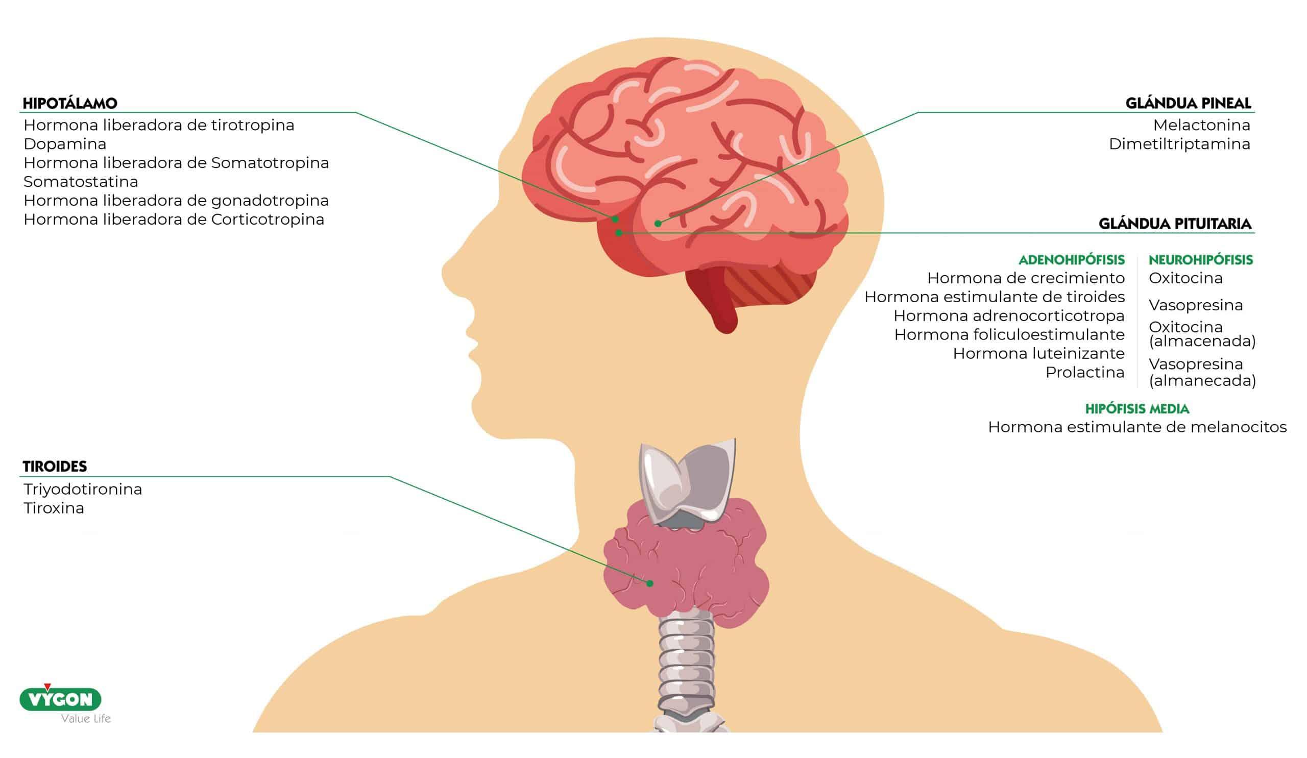 vasopresina endocrinología